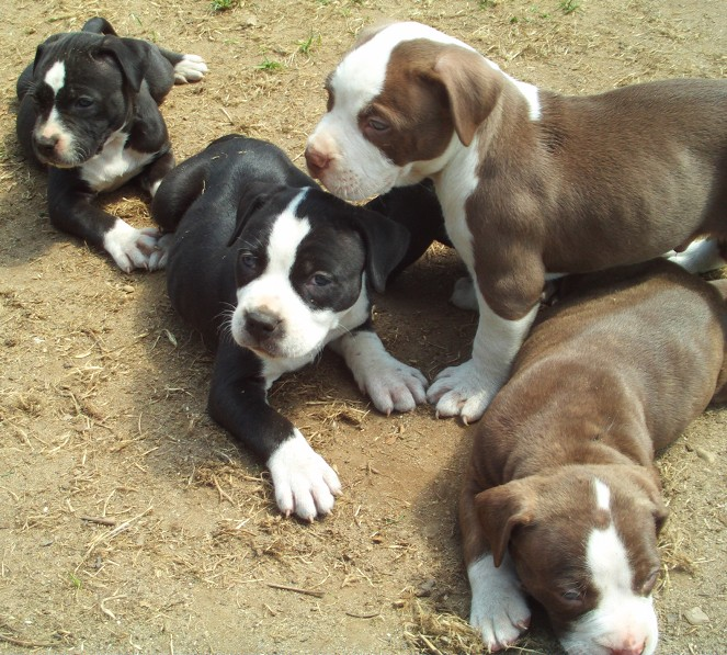 Snusnu13 Images Pitbull Puppies Wallpaper And Background Photos