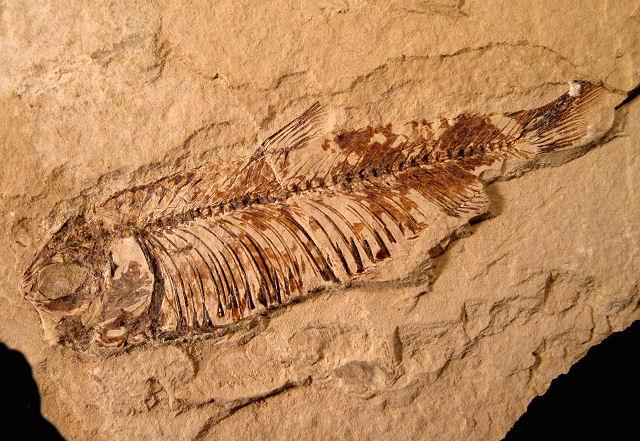 Geology fondo de pantalla entitled pescado fossil