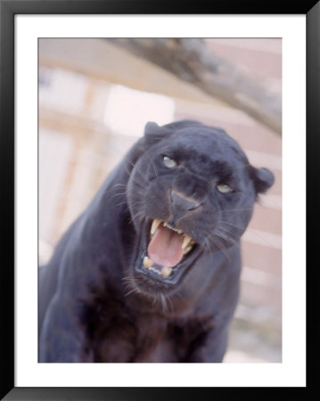 black panther snarl