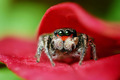 cute jumping spiders - arachnology photo