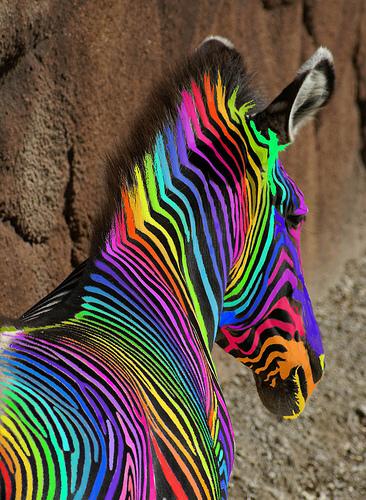 arco iris, arco-íris zebre