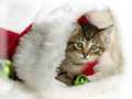 Christmas Cat - teddybear64 photo