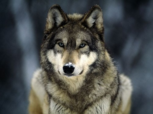 Grey 狼, オオカミ 2