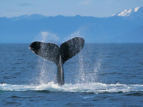 Humpback кит
