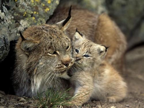 Lynx cat karatasi la kupamba ukuta entitled Lynx