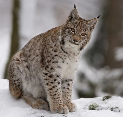 Lynx - lynx-cat Photo