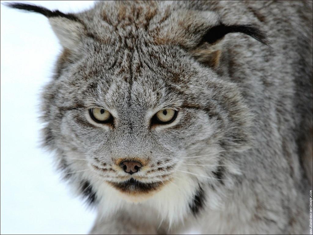 Lynx cat - photo#2