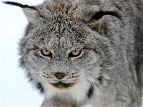 Lynx cat Hintergrund entitled Lynx