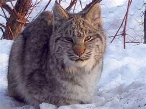 Lynx cat karatasi la kupamba ukuta called Lynx