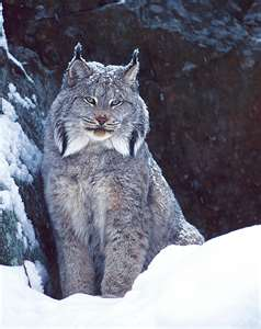 Lynx cat fond d'écran entitled Lynx