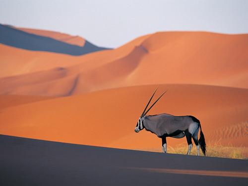 Oryx swala, palahala