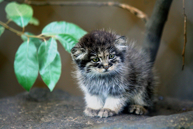 Pallas cats images pallas cat wallpaper and background photos 27745379 pallas cats images pallas cat wallpaper and background photos publicscrutiny Images