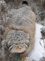 Pallas Cat - pallas-cats photo