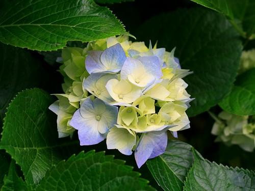 hydrangeas फूल