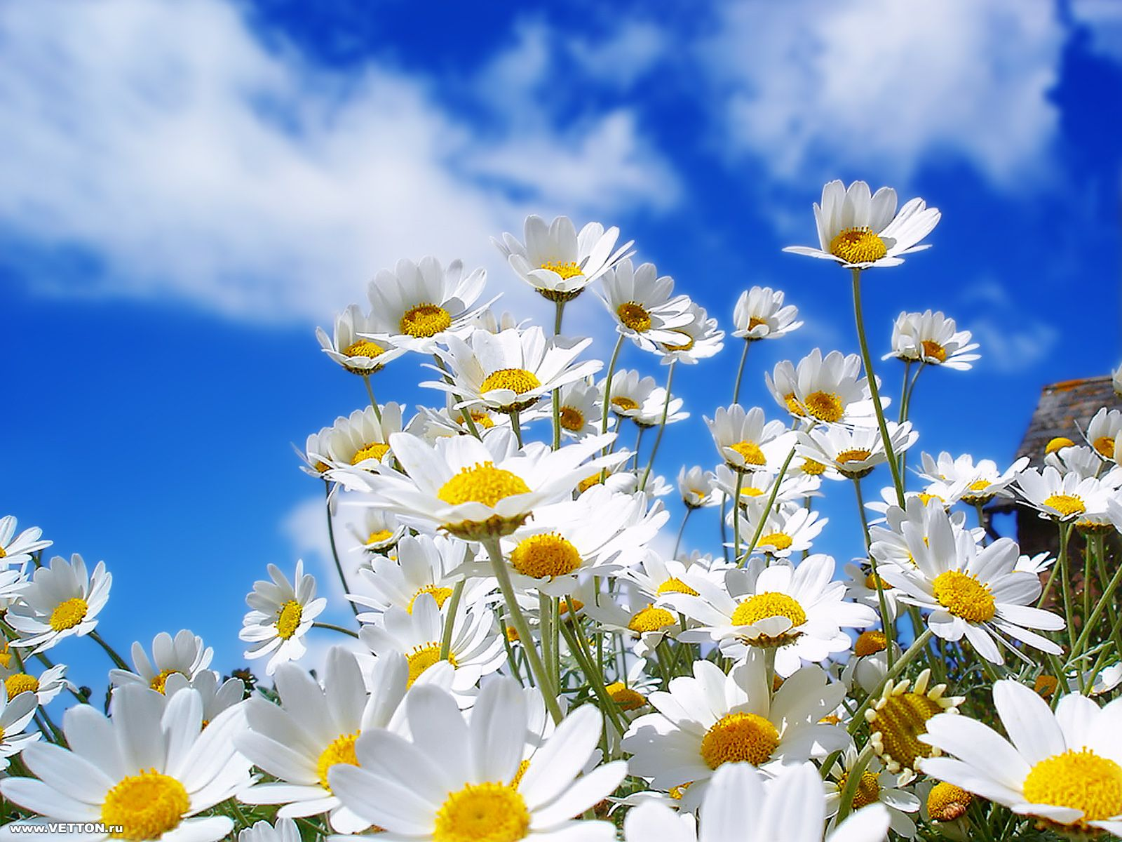 Beautiful Spring Pictures Inspiration With Spring Daisies Image