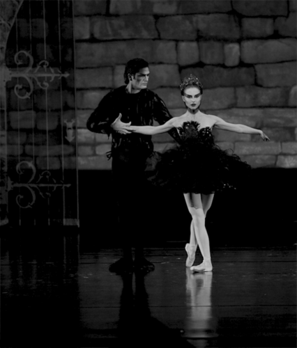 Black angsa, swan