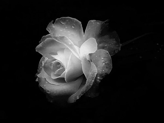 Lone White Rose in the Dark