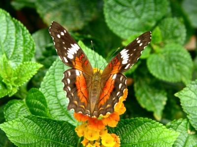Rare borboletas