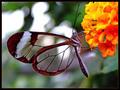 Rare mariposas