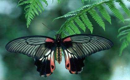 Schmetterlinge Hintergrund titled Rare Schmetterlinge