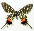 Rare Butterflies
