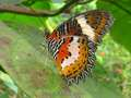 Rare Butterflies - butterflies photo