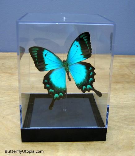 Rare papillons