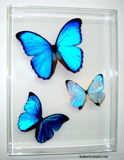 Rare farfalle