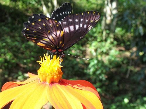 Rare bướm