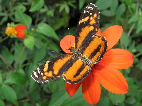 Rare तितलियों