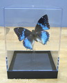 Rare Butterlies - butterflies photo
