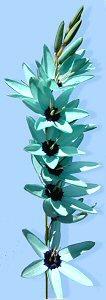 Rare hoa