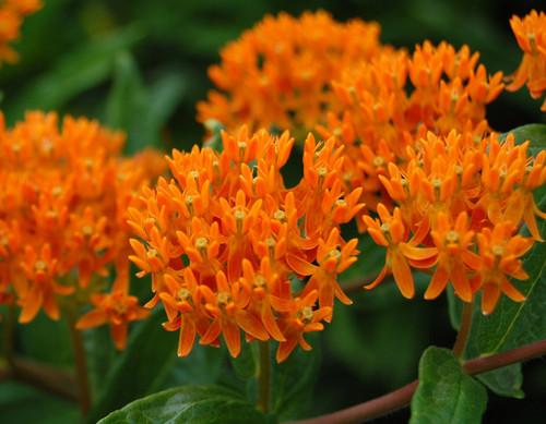 Rare flores