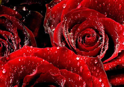 Red rosas in the Rain