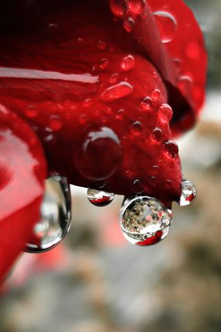 Rose Petals of Rain