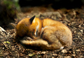 Sleeping Beauty - fox photo