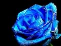 Blue Rose - teampeeta649 photo