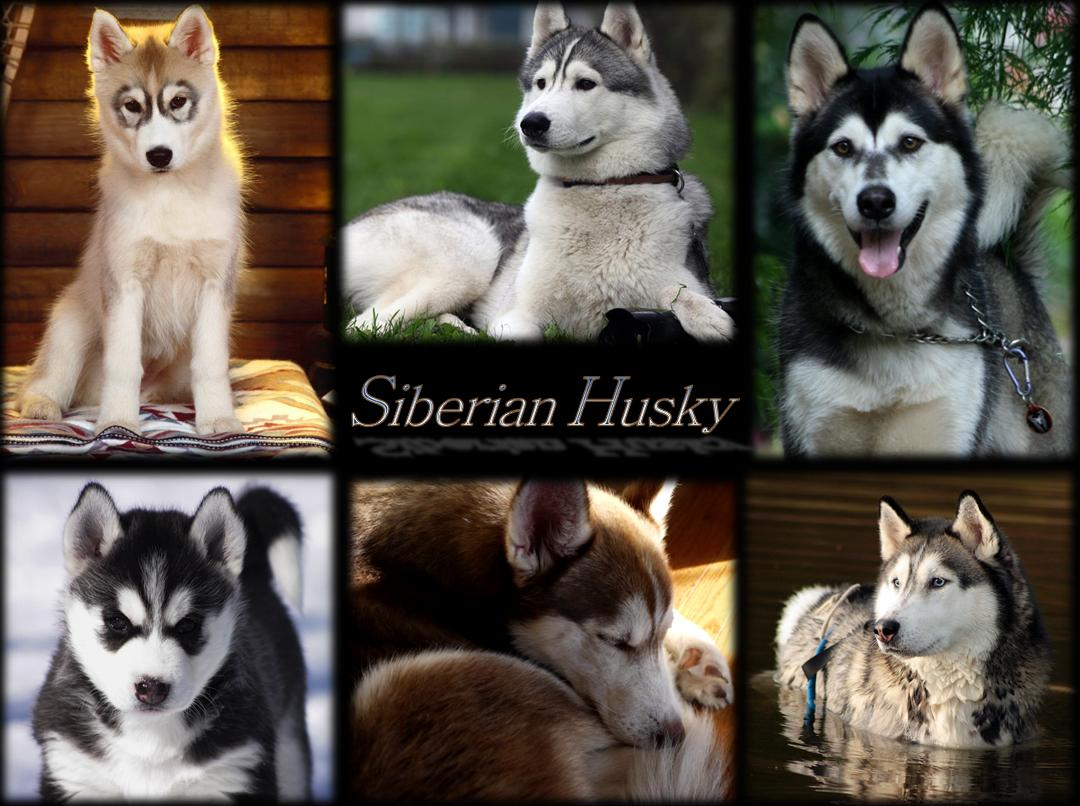 Wallpaper - Siberian Huskies Photo (27806501) - Fanpop fanclubs
