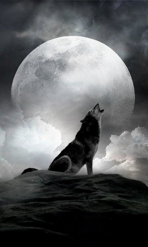 wolf in the moon light