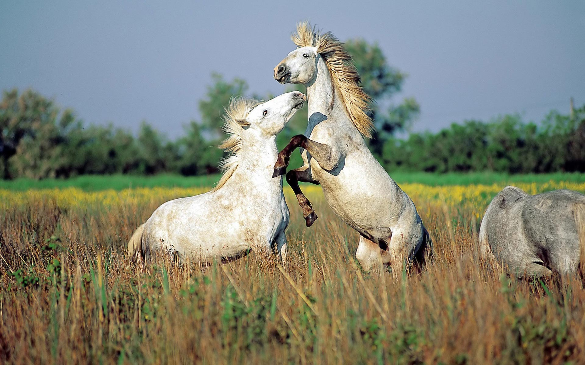 awesome animals fanpop animal wild wildlife backgrounds wallpapers horses bing hd nature horse wonderful