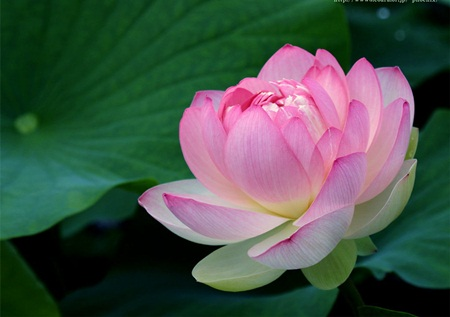 Lotus - National Flower Of Vietnam - vietnam-foods Photo