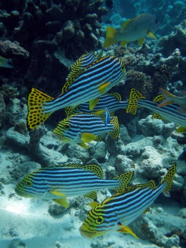 Maldives wallpaper entitled Oriental Sweetlips