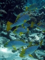 Oriental Sweetlips - maldives photo
