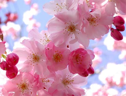 आड़ू, पीच blossoms