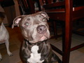 Pit bull name: Isis - pit-bulls photo
