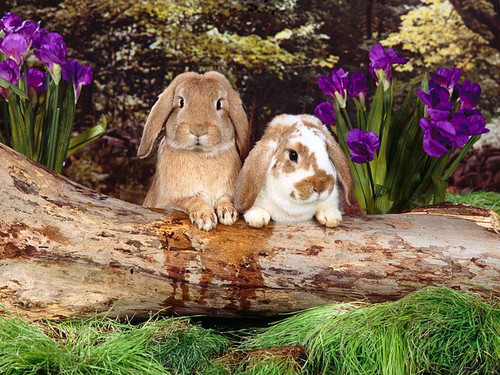 Spring Bunnies - bunny-rabbits Wallpaper