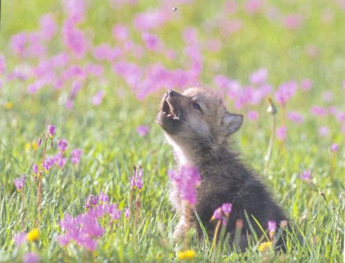 Wolves پیپر وال called بھیڑیا puppies!