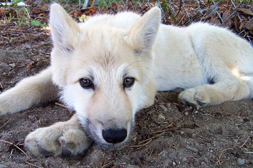 Wolf Puppies Wolves Photo 27971274 Fanpop