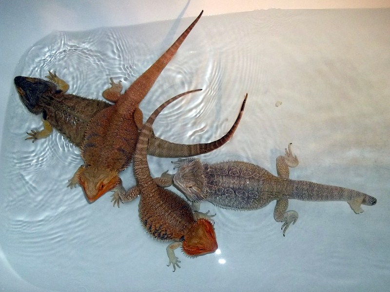 Bearded dragons images my bearded dragons hd wallpaper and bearded dragons images my bearded dragons hd wallpaper and background photos voltagebd Choice Image