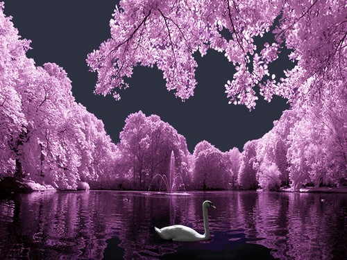 Swan - fantasy Wallpaper